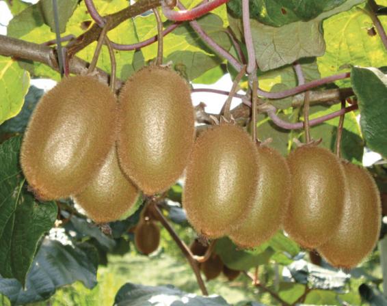 Progetto Boerica, il Kiwi Verde d'Eccelenza